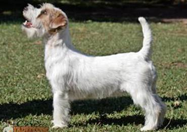 Champion Maruxia de Gaspalleira, Jack Russell Terrier
