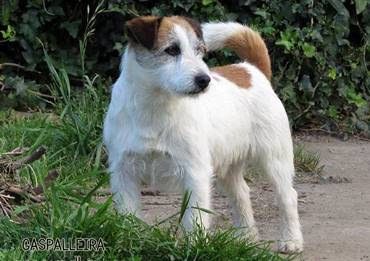 Champion Quantum Gama Rags Puma , Jack Russell Terrier of Gaspalleira