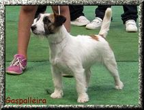 jack-russell-hembra