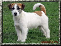 jack-russell-macho