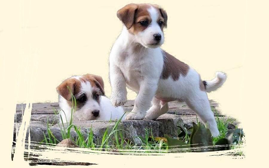 Jack russell terrier pelo largo mini