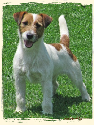 criador-jack-russell