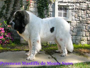 Champion Jillian Diamante de Gaspalleira, Pyrenean Mastiff