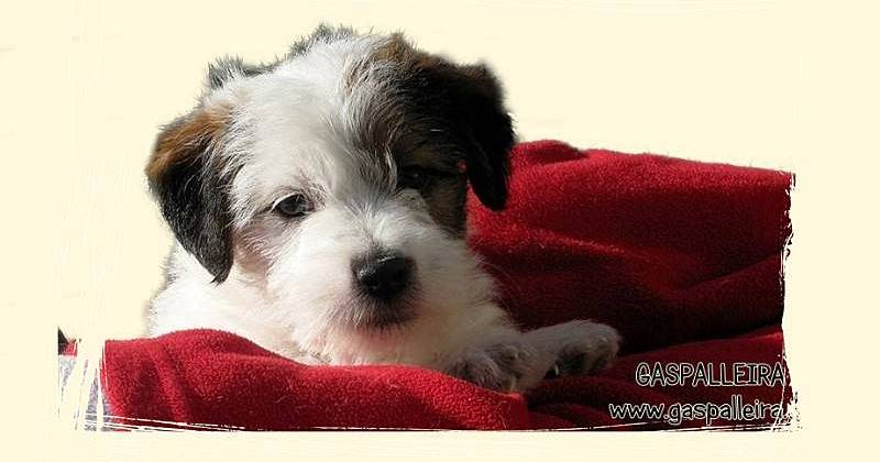 Comprar-cachorro- Jack-Russell-terrier