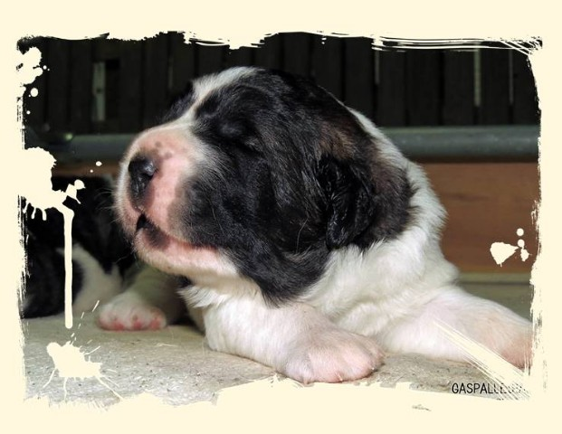 Kennel Gaspalleitra breeders of Pyrenean Mastiff and Jack Russell Terrier