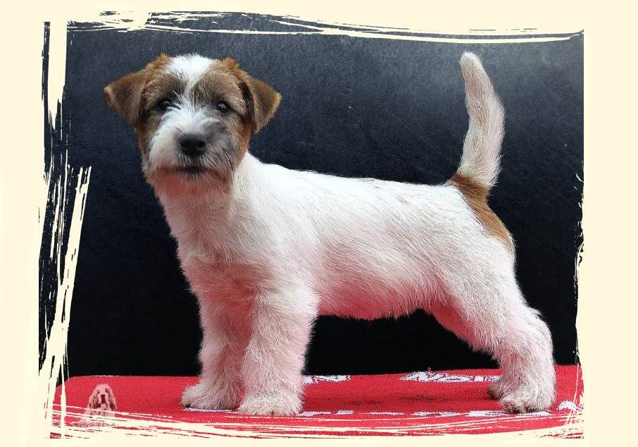 criador-jack-russell-terrier