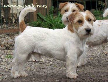 cachorros-jack-russell