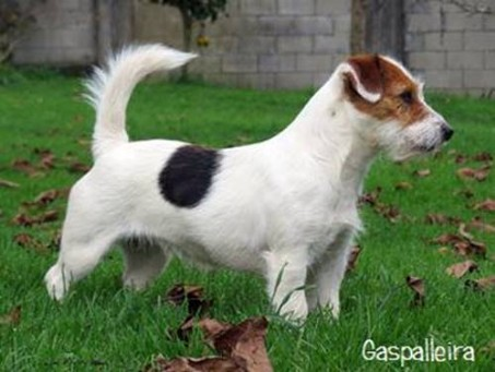 cachorros-jack-russell-terrier