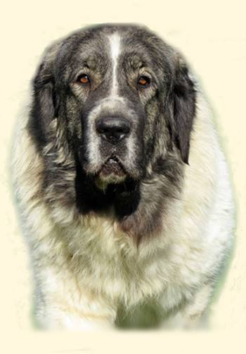 pyrenean mastiff and jack russell terrier pictures